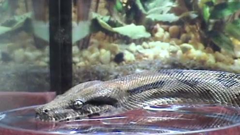 蛇是怎么喝水的,各位你们见过吗?没想到其中居然这么的复杂!