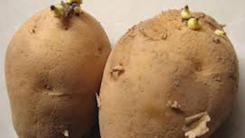 长芽后的土豆到底能不能吃?医生说出真相,看完要注意了!