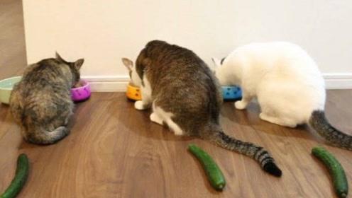 为什么猫咪看见黄瓜会吓飞!铲屎官亲自测试,太搞笑了