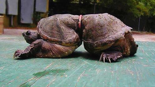 小伙发现一只勒着皮带的乌龟,走近一看,才发现事情并不简单