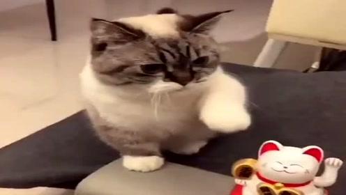 招财猫招手,猫咪看一遍就学会了,这动作萌翻了!