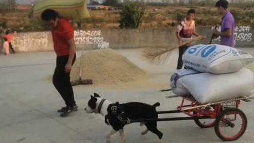 一匹狗力的车 居然能拉半吨呢