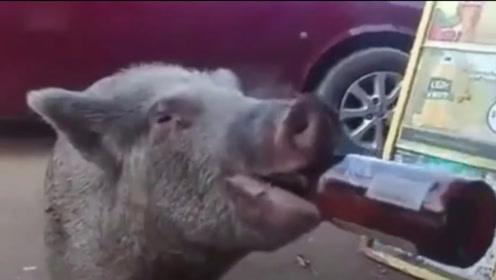喝酒究竟会怎样呢?这头猪每天喝酒,杀猪的时候猪肝是这样的!
