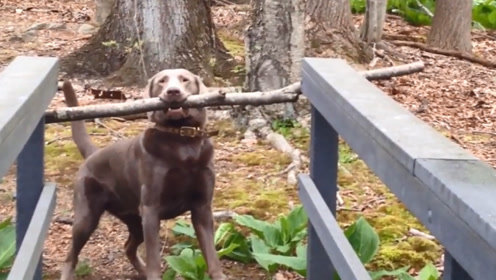 狗狗因为一根树枝意外走红,网友:瞬间感觉物理学的竟不如狗