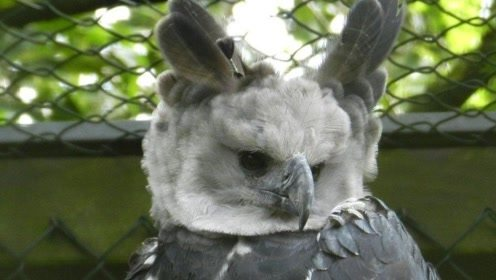 """长的最像人类的鸟,被称为""""空中美洲豹"""",如今还不到5万只!"""
