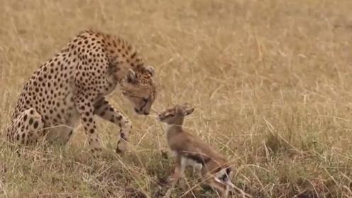 为了能饱餐一顿,猎食者们总是拼尽全力狩猎,但它却在戏弄猎物