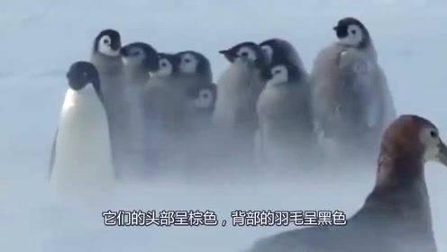 为什么只有南极有企鹅,而北极却没有?根本原因值得人们深思