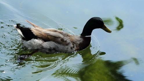 在农村养2000只鸭子,一年能赚30万,可能吗?
