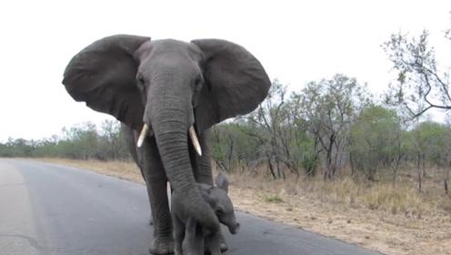 小象想和游客打招呼,却被象妈妈一鼻子拉了回来,真相让人心酸
