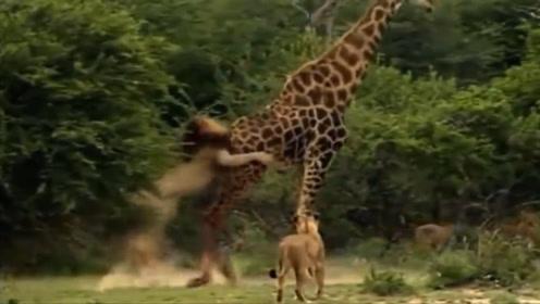 长颈鹿惨遭十几只狮子围攻,关键时刻踢出绝招,狮子下场就悲剧了