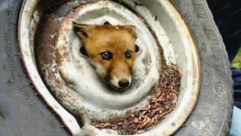 狐狸被困轮胎濒临死亡,男子救活它20年后,发生意想不到的事!