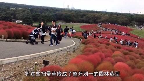 """中国最""""没用""""的植物,到日本却身价翻倍,成为网红打卡点!"""