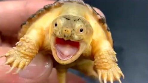 这只小鳄龟长得太可爱了吧,它的身上居然是这个颜色,难道你是变异了吗?