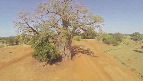 世界最奇特的树,不但可以取水,还可以住在里面!
