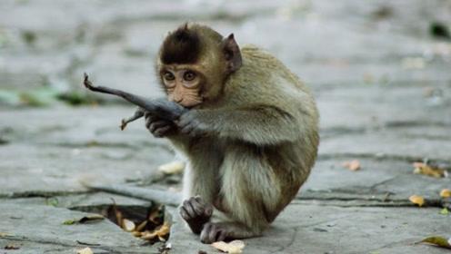 """猴子多次打劫游客,有人故意""""杀鸡给猴看"""",猴子的反应亮了"""