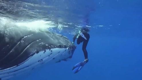 """鲸鱼发现附近有虎鲨 """"见义勇为""""把女科学家藏在自己胸鳍下"""