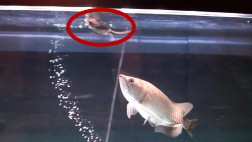 男子把老鼠扔进鱼缸,金龙鱼游了过来,下一秒不敢相信自己的眼睛