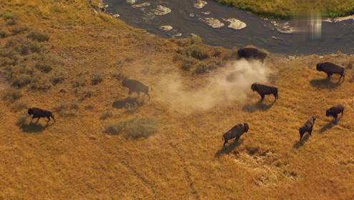 野牛在在恋爱季节,喜欢聚集在著名的黄石间歇泉附近谈情说爱