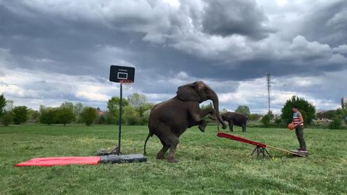 外国男子站在跷跷板这头,一头大象冲了过来,抬腿一按男子上天了
