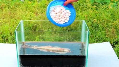 将一条鱼,放进加入曼妥思的可乐中,场面一段失控