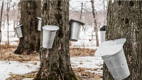 """能产""""糖浆""""的树,直接在树干安装""""水龙头"""",舌头甜到麻木!"""