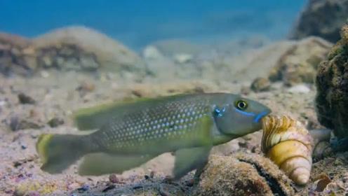 非洲一种超奇特的雄性鱼,会偷窃邻居的贝壳做巢穴!