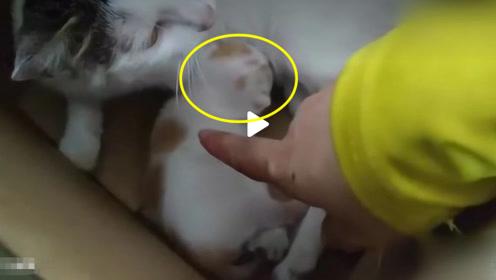 猫妈妈生下胖嘟嘟的独子,主人想要伸手摸一下,立马伸出手阻止