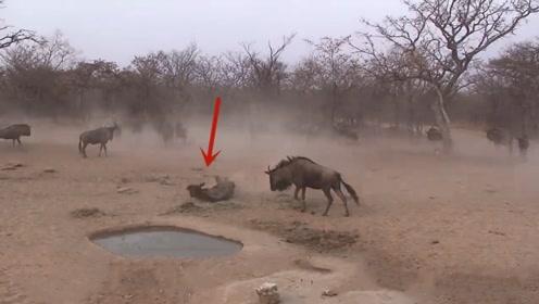 角马和斑马吃食物时,突然一只角马倒地不起,镜头放慢后找到真凶