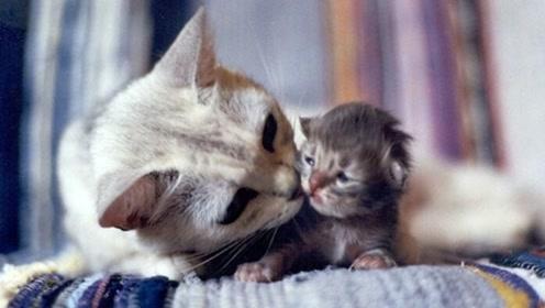 为什么小猫长大后,猫妈妈就开始嫌弃小猫了?看完感慨母爱伟大