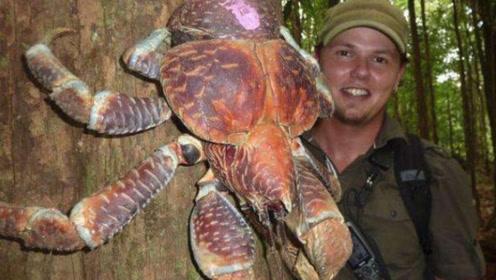 以椰子为食,常年在陆地生存,体积达到一米,却吃不到嘴里的螃蟹!