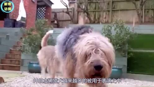 最独特的5条狗,毛发长到像穿了裙子