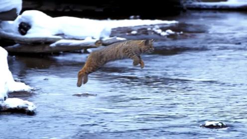 慢镜头回放野生猞猁的跳跃画面,这河到底多宽?镜头拍下全过程