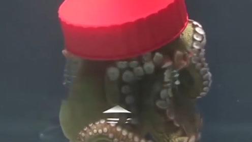 章鱼的智商有多高?老外将它关进罐子里,它能顺利逃脱吗?