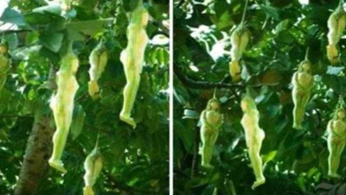 """全球罕见的""""女人树"""",果实和女人很相像,看完你敢吃吗?"""