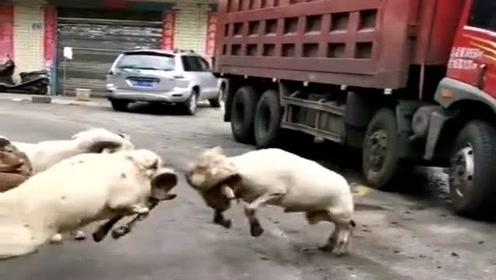 回家路上遇到几只山羊斗殴,吓得大货车司机都靠边停车了,真危险!