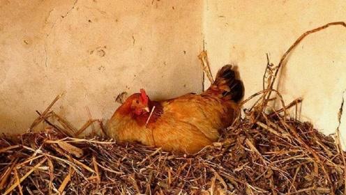 为啥鸡蛋每天都被拿走,鸡一点怨言都没有,看完后才得知母鸡的秘密