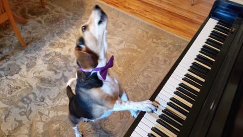 狗狗趁主人不在家,居然一边弹钢琴一边唱歌,一副自我陶醉的样子