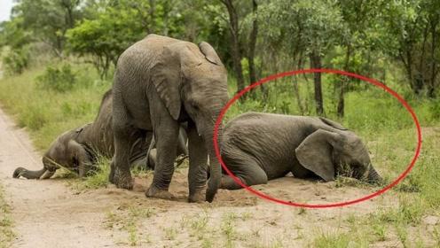 非洲最神奇的果子,大象吃了像醉汉!当地人却这样吃