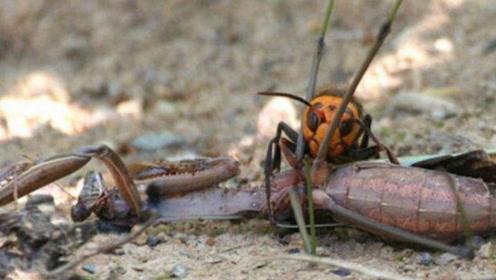 大刀螳螂对决金环胡蜂,两大肉食性昆虫,直接被胡蜂刺杀落地!