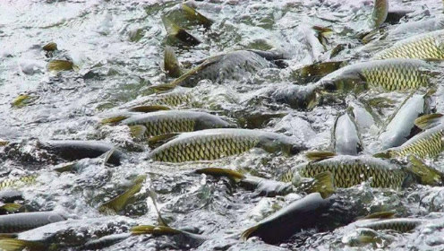 淡水鱼在海水中无法存活?那黄河流入大海之后,河里的鱼都去哪了
