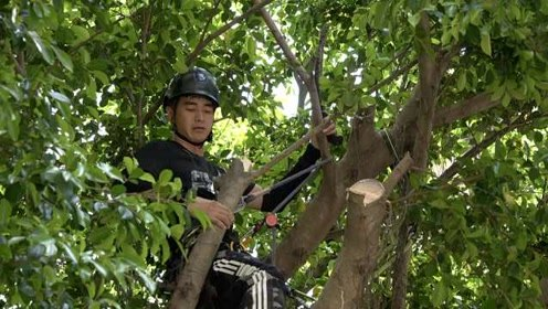学以致用!厦大攀树课学生为居民修剪大树枝:影响采光和通风