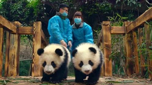 大熊猫死后怎么处理呢?真是心疼熊猫,网友:太狠心了