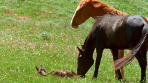 小野马刚出生无法站立,野马爸爸忍痛割爱,亲手杀死孩子继续迁移