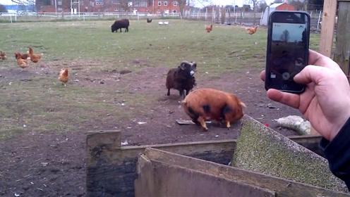 猪好端端散着步,小羊却突然发起攻击,下一秒大家请憋住别笑