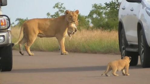母狮叼着小女儿走,小狮子不愿意倒地撒娇,母狮的做法太赞了