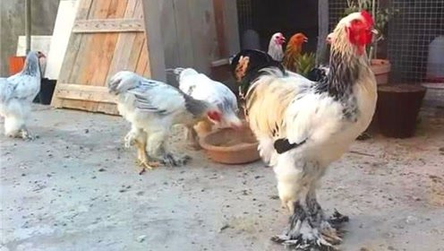 见过1米多高的鸡吗?与小孩差不多高,网友:被啄下还得了