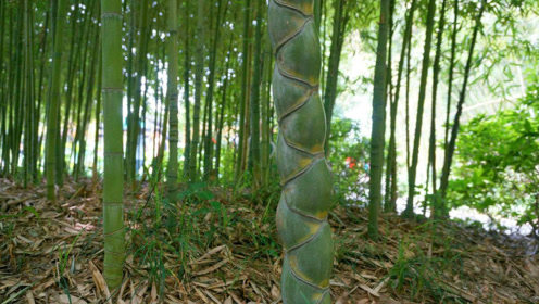 在农村见到这种竹子 你就赚到了 珍品一株能卖上万