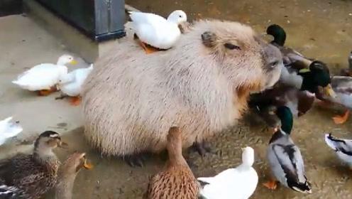 自然界的社交高手,和大多数动物都能成为好朋友,脾气好还可爱