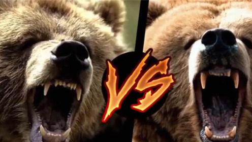 上千斤野生棕熊大战,最为罕见的生死搏斗,镜头记录王者厮杀过程
