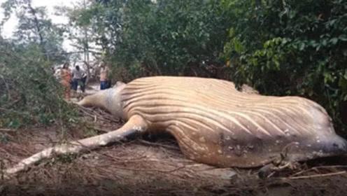 在亚马逊丛林中,男子发现体长12米巨兽,专家表示:它还未成年!